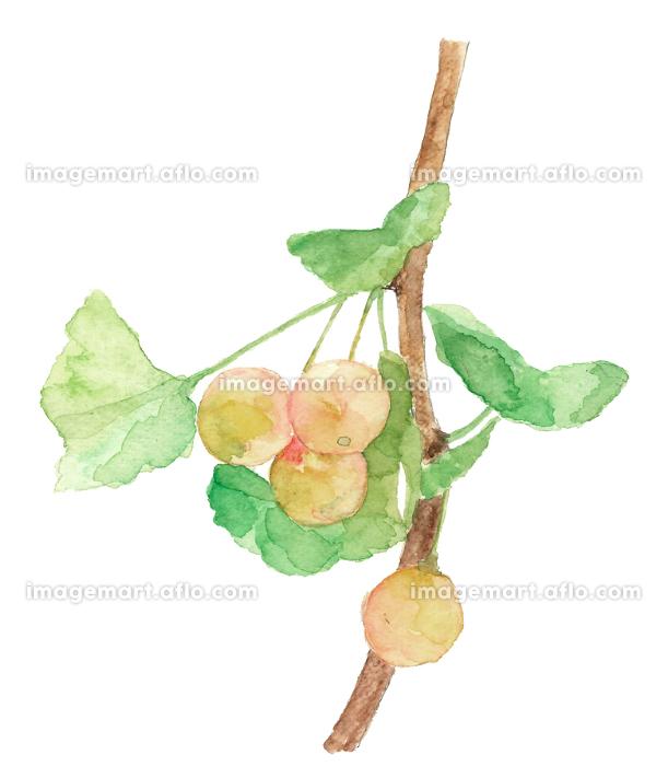 銀杏の実 イチョウ ぎんなん 葉付き 白バック【水彩】の販売画像