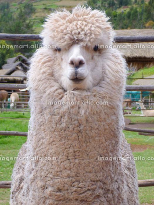 ペルー・クスコ近郊の牧場でユニークな表情をした白いアルパカの上半身クローズアップの販売画像