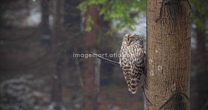 Ural owl, Strix uralensis, sleeping in a forest hidden by a tree.
