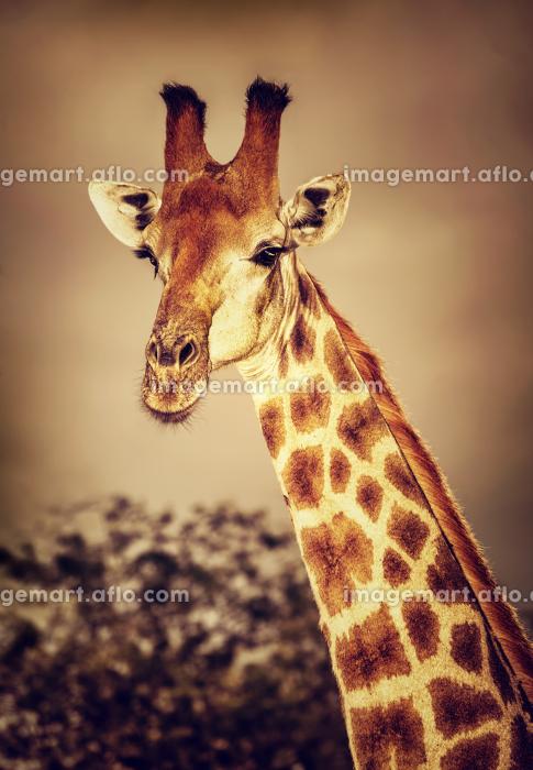 Wild South African giraffeの販売画像
