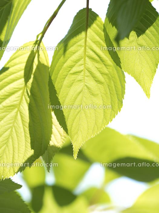 新緑のサクラの葉の販売画像