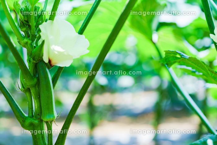 収穫期の国産のオクラ【夏イメージ】の販売画像