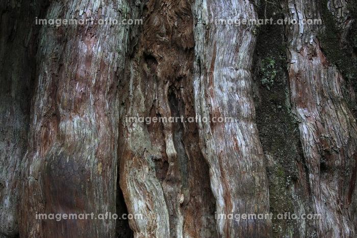紀元杉の販売画像