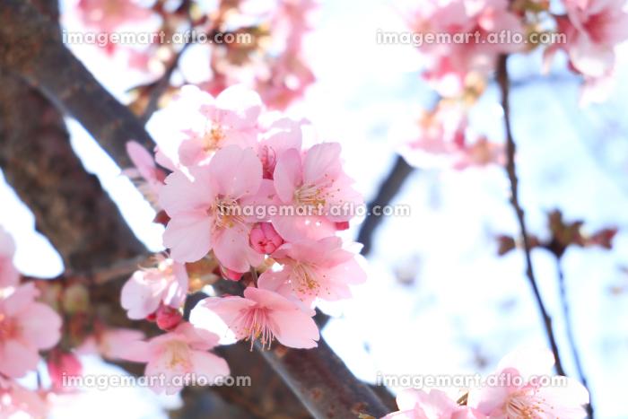 青空と河津桜 1の販売画像