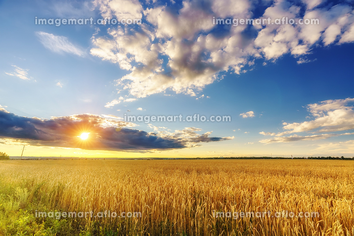 Sunset above the wheat field
