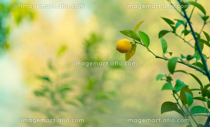 Lemon trees gardenの販売画像