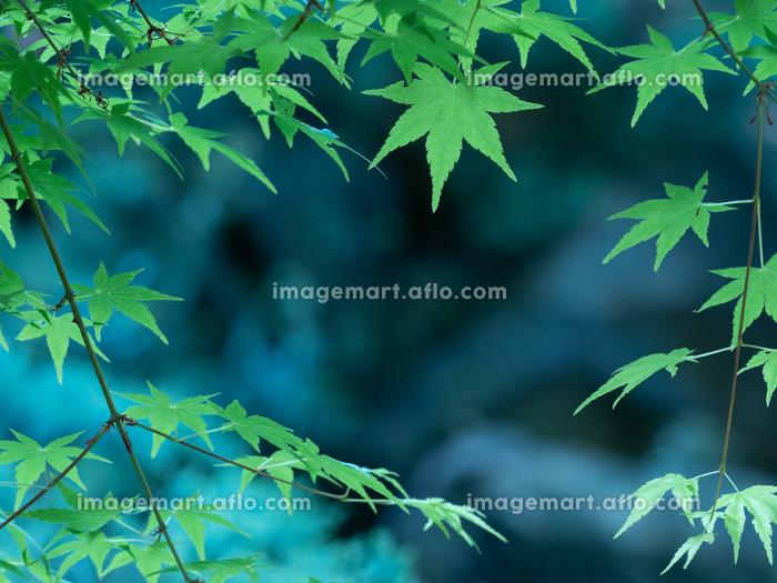 5月の光に輝く新緑のもみじの葉 5月の販売画像