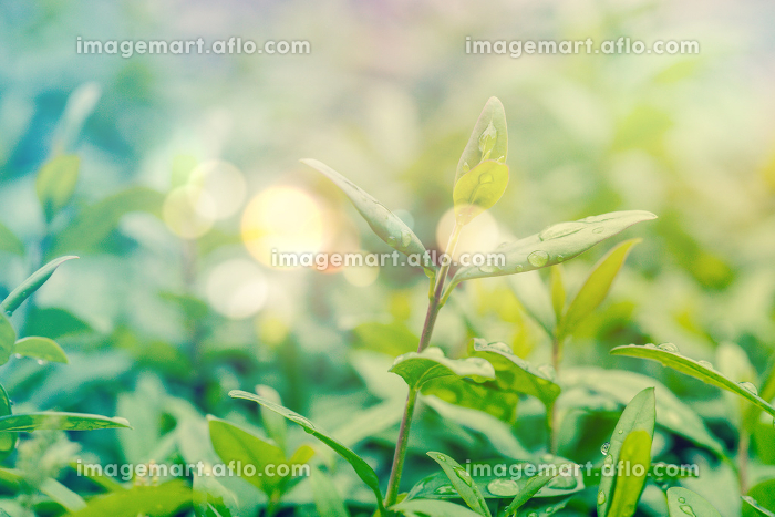 Green hedge with dew and bokeh lightsの販売画像