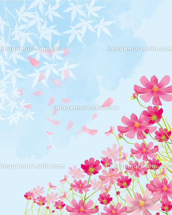 秋桜:秋桜 コスモス祭り 花びら 満開 青空 晴天 水彩