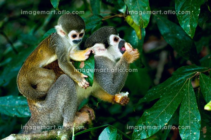 南米 哺乳類 かわいいの販売画像