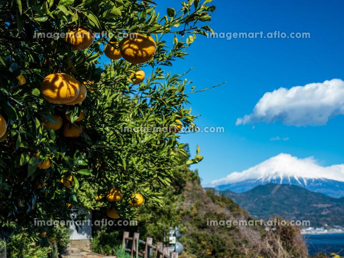 静岡県 冬晴れの青空とみかんが実る薩埵峠の風景 12月の販売画像