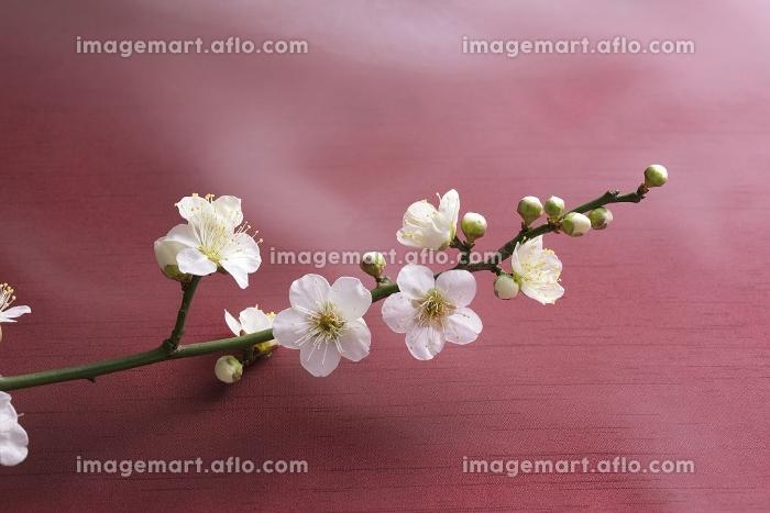 梅の花の販売画像