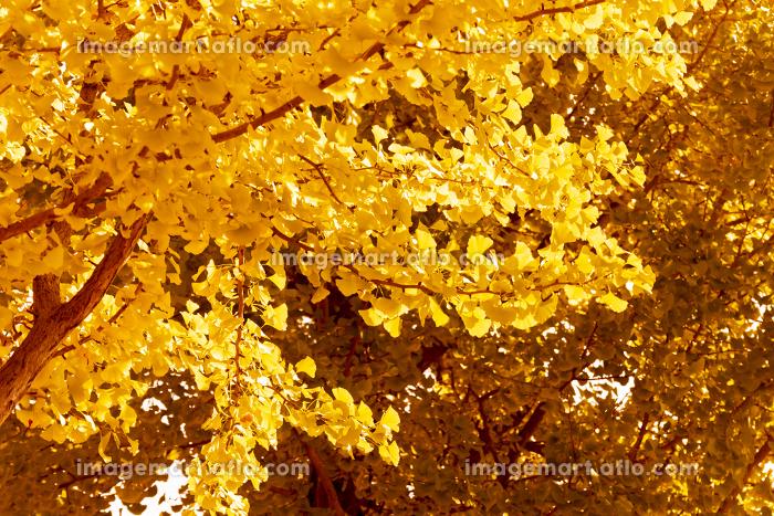 晴れた秋の銀杏の背景の販売画像
