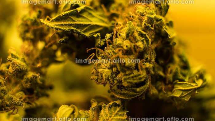 Growing sativa and indica strains indoor. Weed news from 2020, Los Angeles, CA, United States