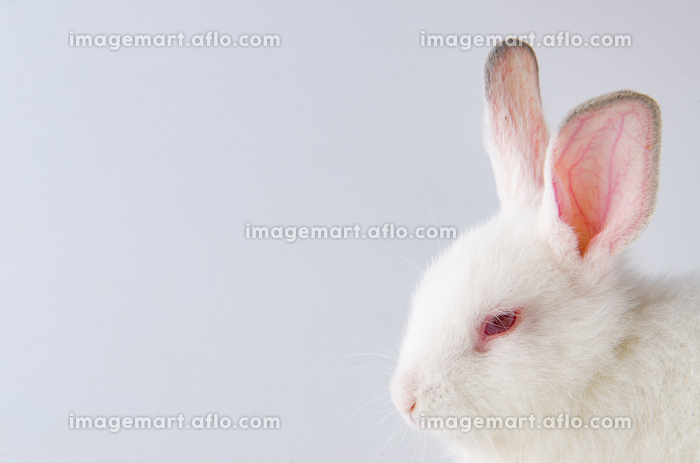 White rabbit in easter animal conceptの販売画像