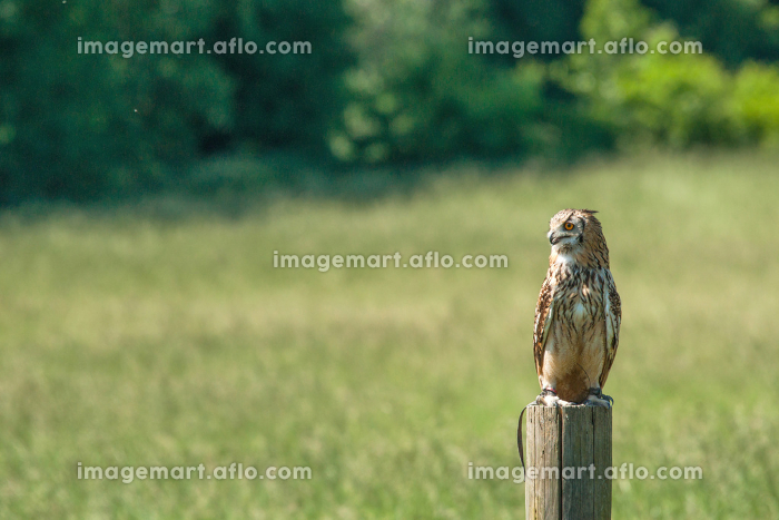 Horned owl sitting on a wooden post on a green fieldの販売画像