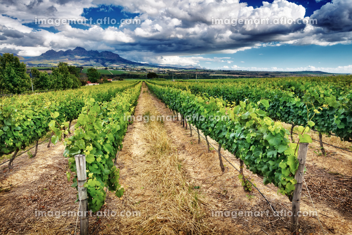 Beautiful vineyard landscapeの販売画像