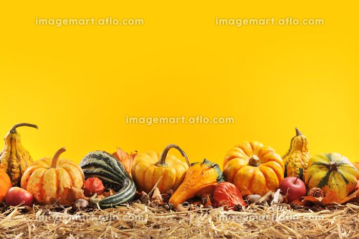 pumpkin bordeの販売画像
