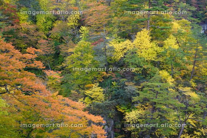 色とりどりに紅葉した山のクローズアップ、宮城県大崎市鳴子峡の販売画像