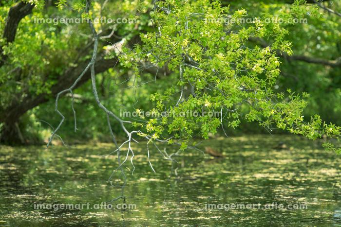 池と新緑の木々 4月の販売画像