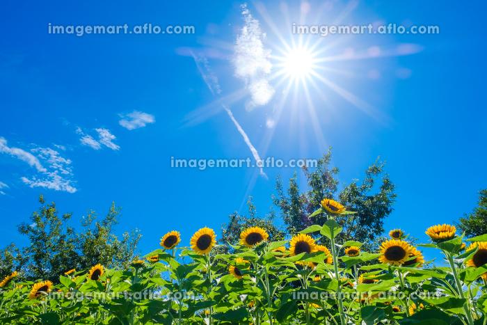 青空とひまわり畑 夏イメージ 真夏 馬見丘陵公園の販売画像