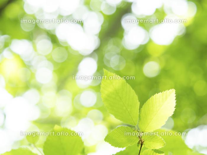 新緑の葉の販売画像