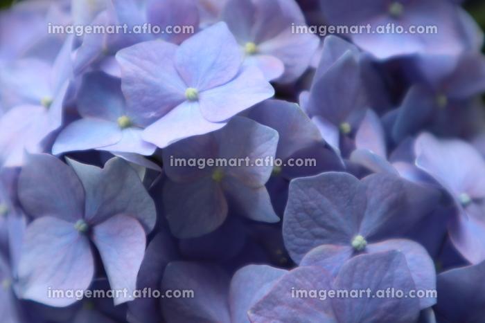 六月の季節 梅雨の花 アップ満開の青紫の紫陽花の販売画像