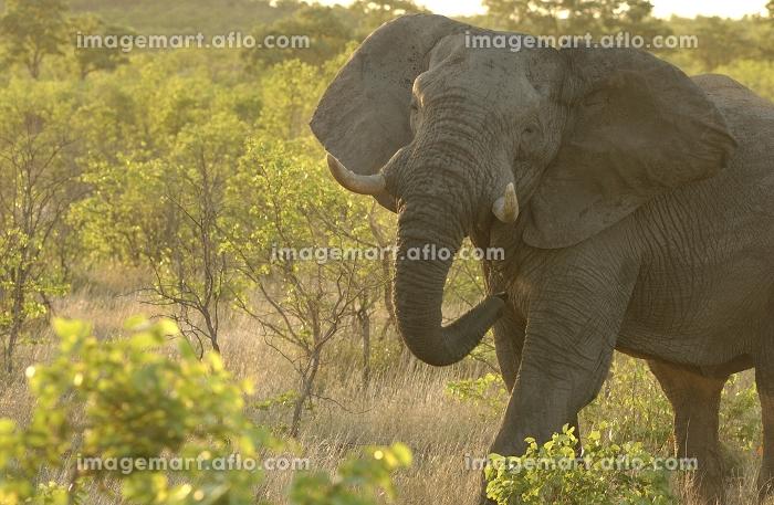 動物 象 葉の販売画像