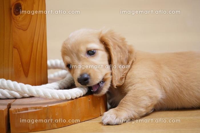いたずら仔犬の販売画像