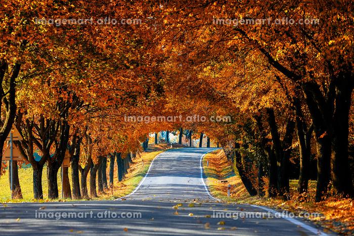 beautiful trees on alley in autumnの販売画像