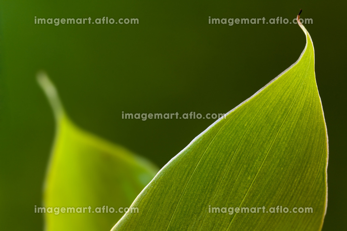 banana leaf in the sunの販売画像