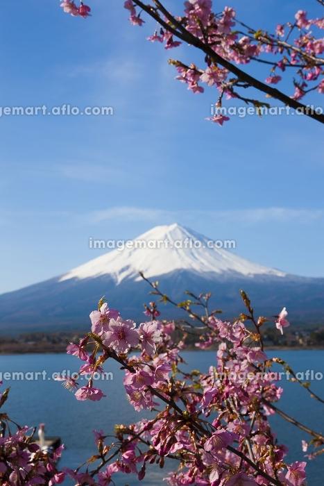 河口湖の桜と富士山の販売画像