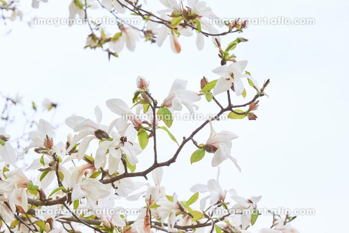 白い空背景の白いコブシの花の枝先の販売画像