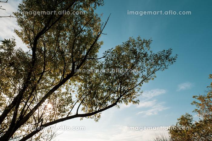 冬の青空と木々の販売画像