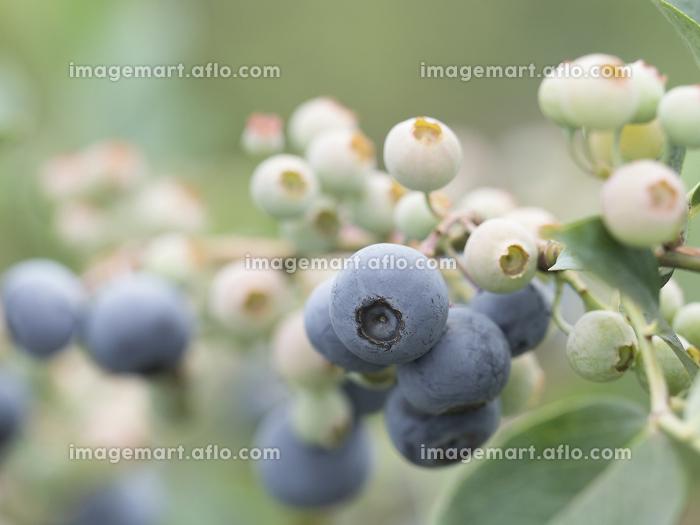 畑のブルーベリーの販売画像