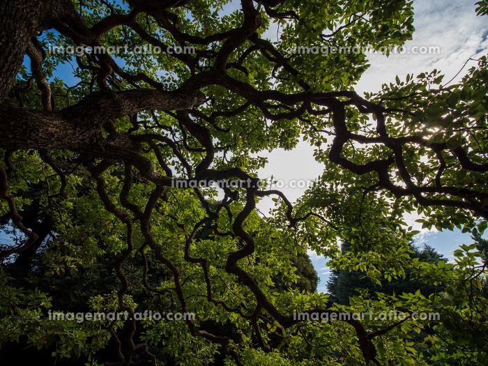 空いっぱいに枝を広げる木の販売画像