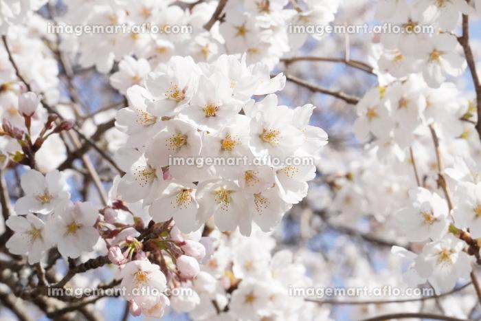 満開の桜のクローズアップの販売画像
