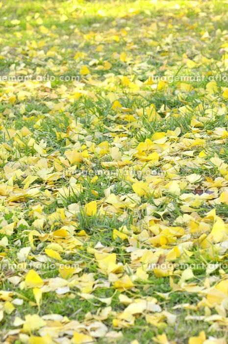 芝生の上に落ちたイチョウの葉の販売画像