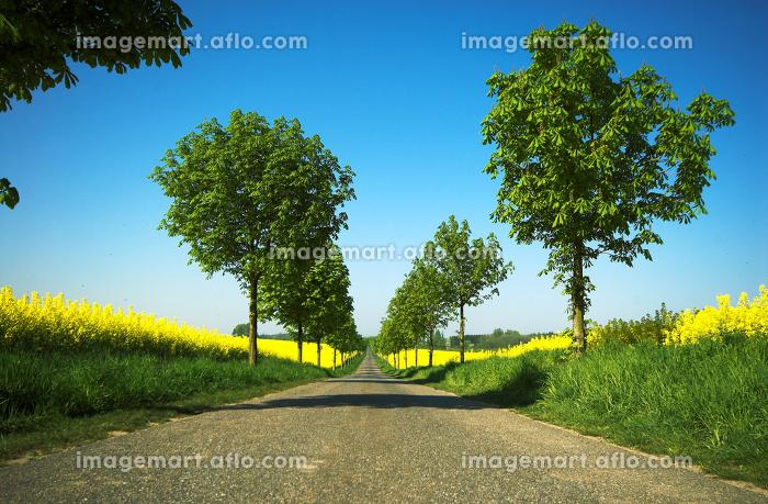 tree avenue with rape fieldsの販売画像