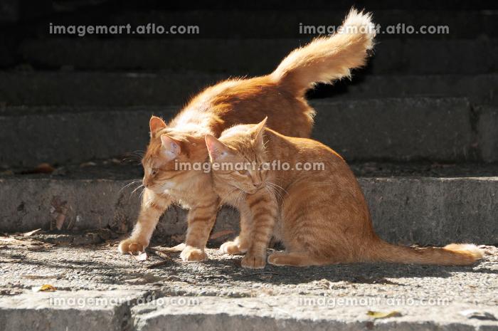 ネコの兄弟 仲良しの販売画像