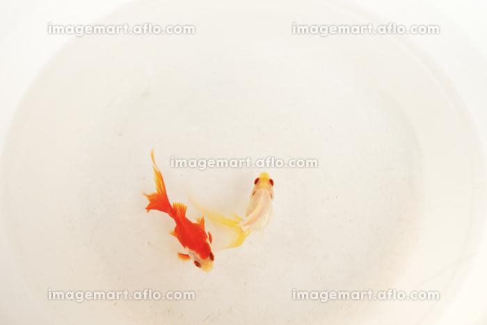 泳ぎ回る小さな可愛い金魚(136280667)|イメージマート