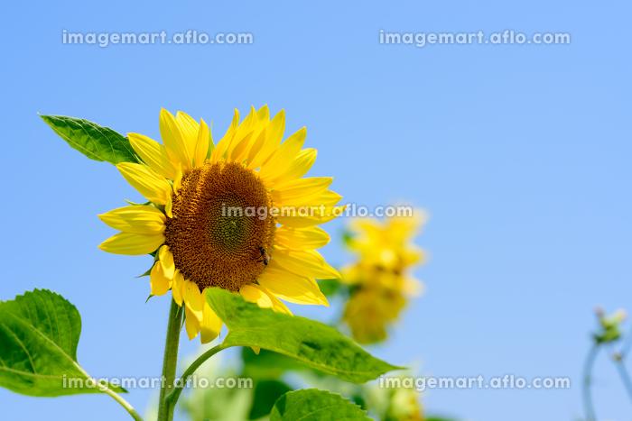 青空と太陽と向日葵の販売画像