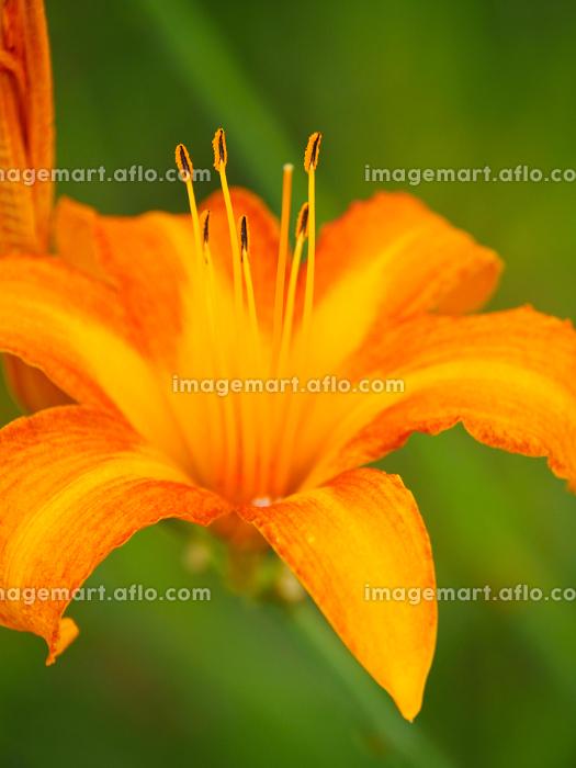 オレンジ色の花、ノカンゾウの販売画像