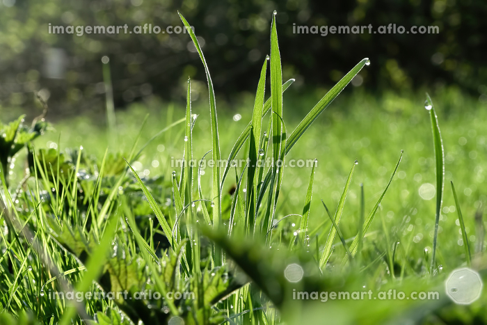 Close-up of meadow grasses with water drops in the morning sunの販売画像