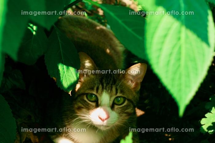 cat,猫,ネコ,ねこ,Katze,chat,gatto,gato,feles,кошка,KATの販売画像