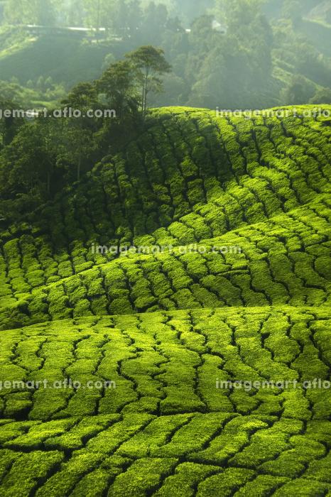 マレーシア お茶 新鮮の販売画像