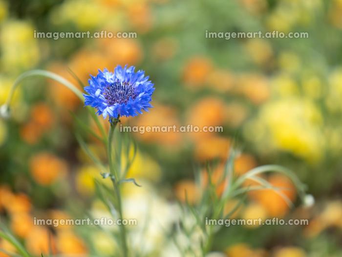 初夏の青い花 4月の販売画像