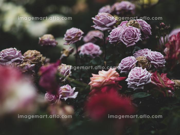 薄紫色のバラの花 5月の販売画像