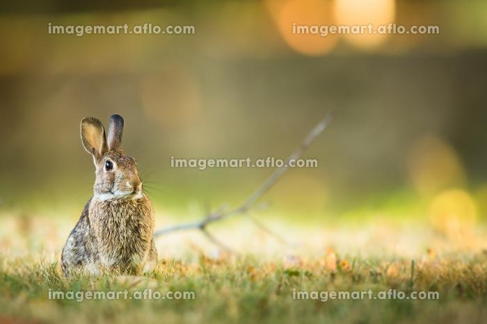 Cute rabbit in grassの販売画像