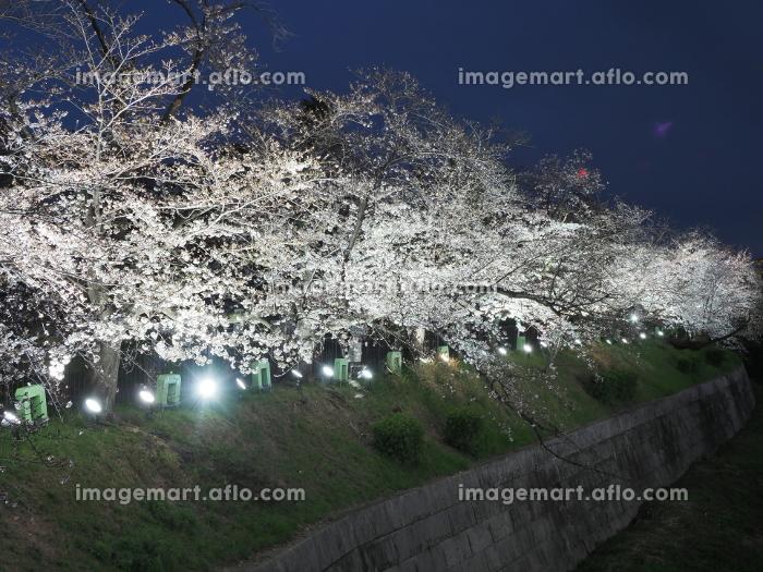 名古屋で有名な桜の名所 山崎川の夜桜の販売画像